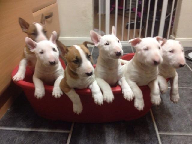 Bull Terrier Filhotes, a única loja do pais com clinica vet própria (11)9.6842.5101 - Foto 2