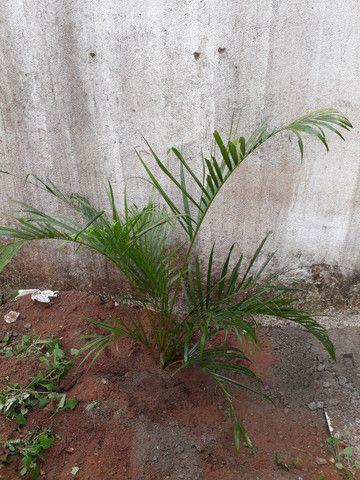 Palmeira grandes e médias. - Foto 6