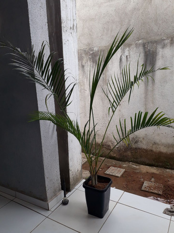 Palmeira grandes e médias. - Foto 3