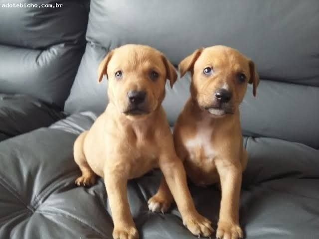 Labrador x dog  - Foto 2