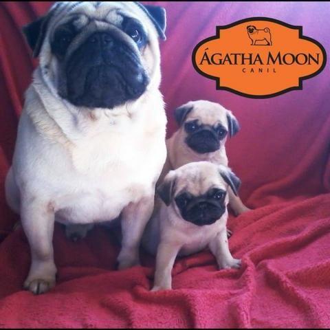 Babys PUGs prontos pra entrega - Foto 5