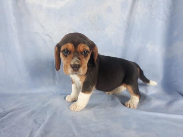 Beagle Filhotes, a única loja do pais com clinica vet própria (11)9.6842.5101 - Foto 2