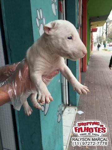 Bull Terrier Inglês filhotes de alto padrão com qualidade genética! - Foto 3