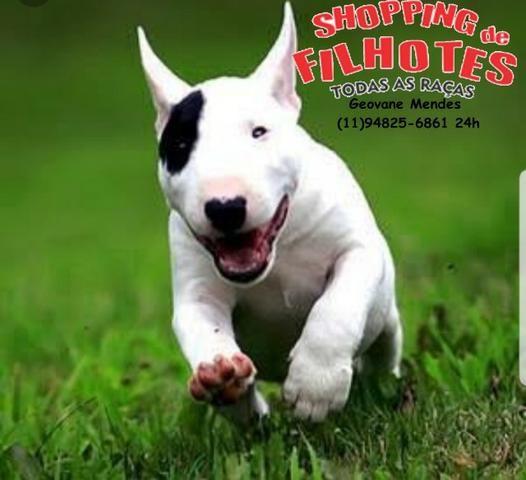 Bull Terrier Inglês LIndos filhotes com excelente padrão da raça, todos com Pedigree