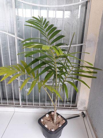 Palmeira grandes e médias. - Foto 2