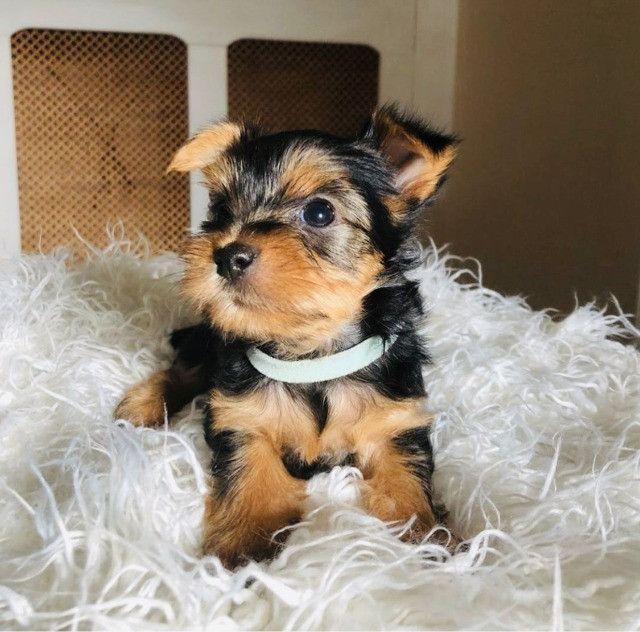 Lindos Yorkshire Terrier, com suporte e Pedigree!!!