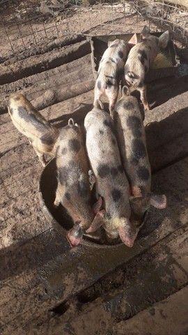 Vendo leitão e leitoa e porca pietrain  - Foto 6
