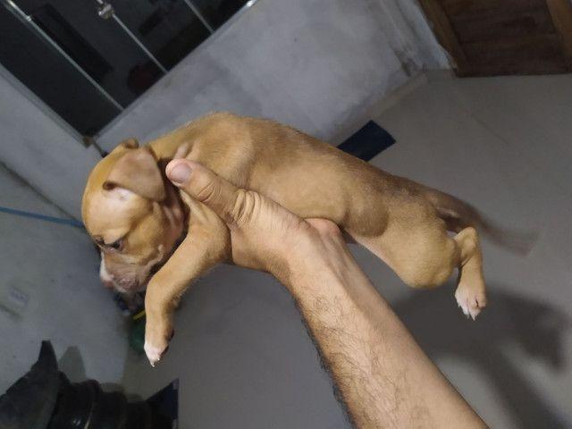 Vendo filhotes de Pitbull - Foto 2