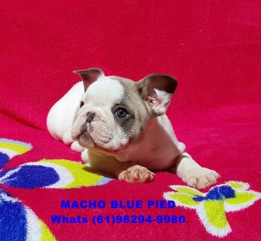 Bulldog Francês _Macho Blue Pied_ Olhos verdes_Pedigree CBKC