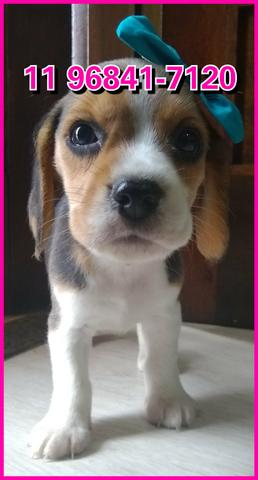 Beagle lindos exemplares a sua espera, fotos originais somos referência no mercado - Foto 4