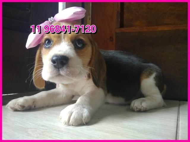 Beagle lindos exemplares a sua espera, fotos originais somos referência no mercado - Foto 5