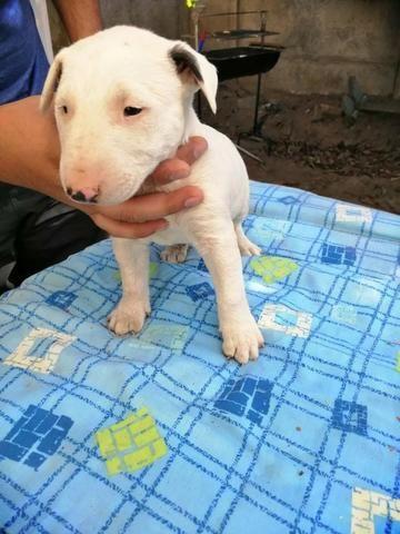Bull Terrier Inglês pirata/fulvo/tricolor/white e black brindle, machos e fêmeas! - Foto 2