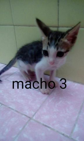 Doação de gatinhos - Foto 3