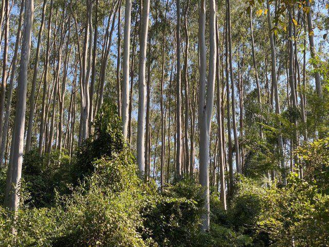 Eucalipto. Tora, torinha, lenha, escoras, madeira - Foto 6