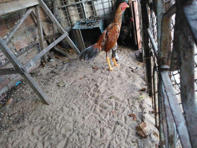 Vendo frago e galinhas - Foto 3