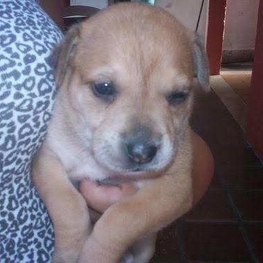 Labrador x dog  - Foto 4