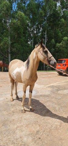 Cavalo mangalarga pampa  - Foto 2