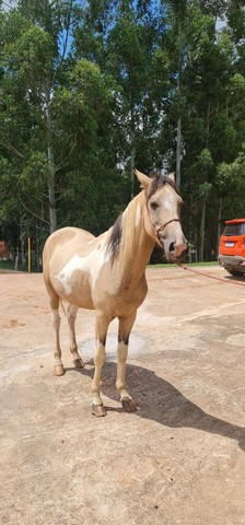 Cavalo mangalarga pampa  - Foto 3
