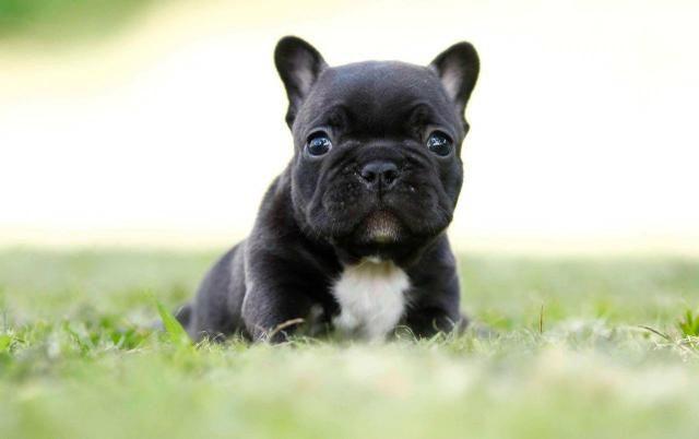 Bulldog'francês-promoção
