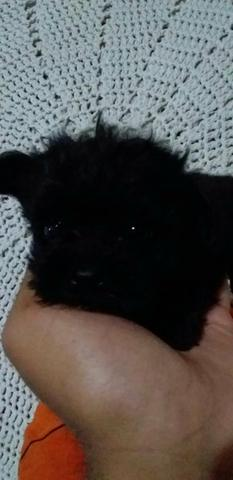 Poodle micro toy macho 300 12x - Foto 3