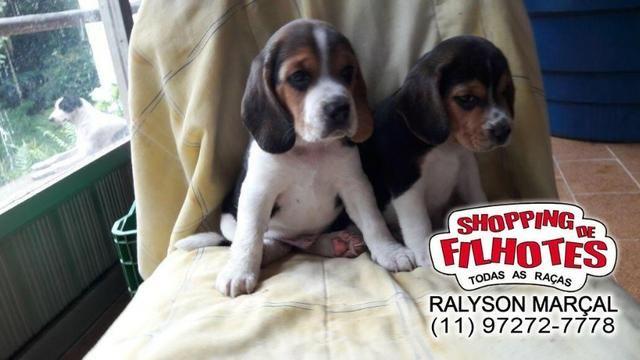 Beagle mini a pronta entrega, (bicolor/tricolor) com garantia de saúde - Foto 2