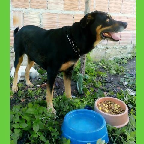DOAÇÃO Cão doberman raciado ( lindo ) - Foto 2