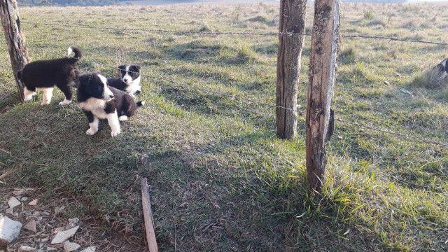 Filhotes de Border Collie 1 macho 2 fêmeas 60 dias - Foto 5