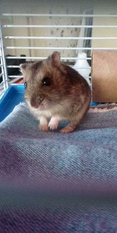Filhotes de hamster Anão Russo - Foto 2
