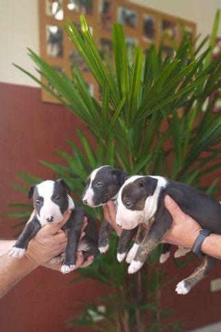 Bull Terrier Filhotes Várias Cores Disponíveis Clique Já E Confira