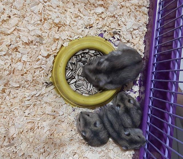 Filhotes de hamster Anão Russo - Foto 4