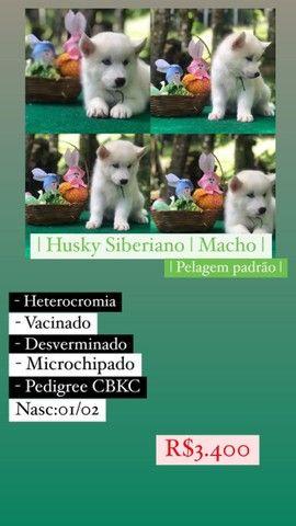Lindos Filhotes De Husky Siberiano - Foto 5
