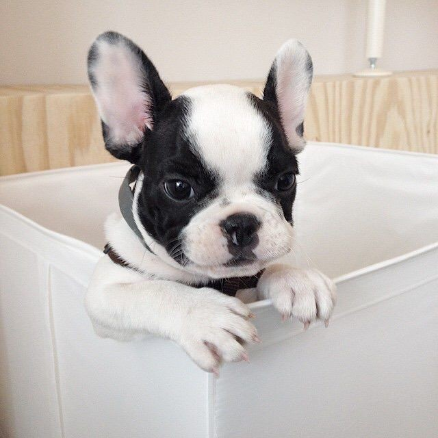 Bulldog Francês a Pronta entrega