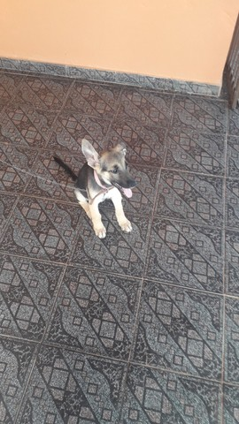 Vendo capa preta cachorro fêmea *