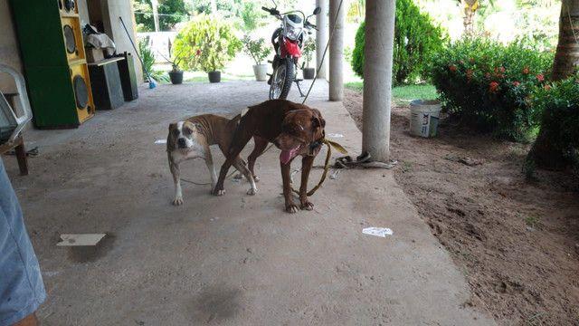 Vendo filhotes de pitbull - Foto 6