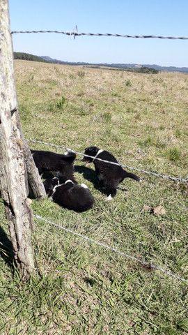 Filhotes de Border Collie 1 macho 2 fêmeas 60 dias - Foto 4