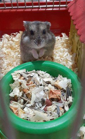 Filhotes de hamster Anão Russo - Foto 3