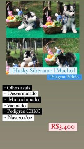 Lindos Filhotes De Husky Siberiano - Foto 3