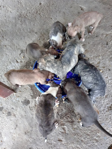 Vendo filhotes de pit bul - Foto 3