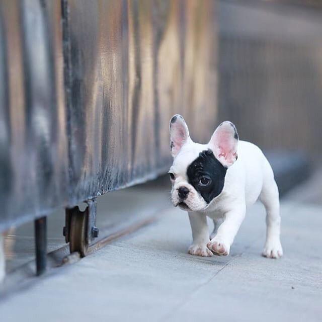 Bulldog Francês lindos Machinhos