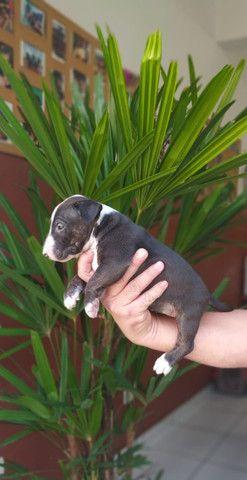 Bull Terrier Filhotes Várias Cores Disponíveis Clique Já E Confira - Foto 4