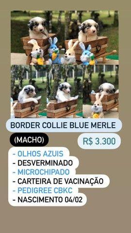 Lindos Filhotes De Border Collie - Foto 5