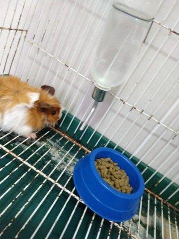 Porquinho da índia com gaiola e bebedouro - Foto 3