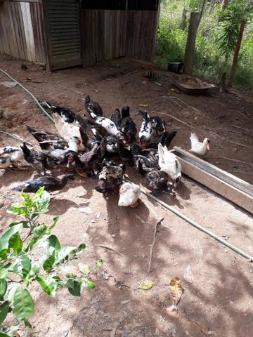 30 patos a venda