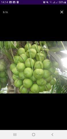 Coco verde em xique xique ba