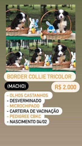 Lindos Filhotes De Border Collie - Foto 4