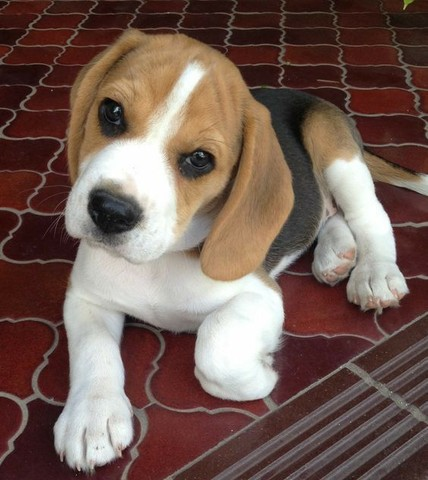 Filhotes de Beagle macho e fêmea lindos  - Foto 3
