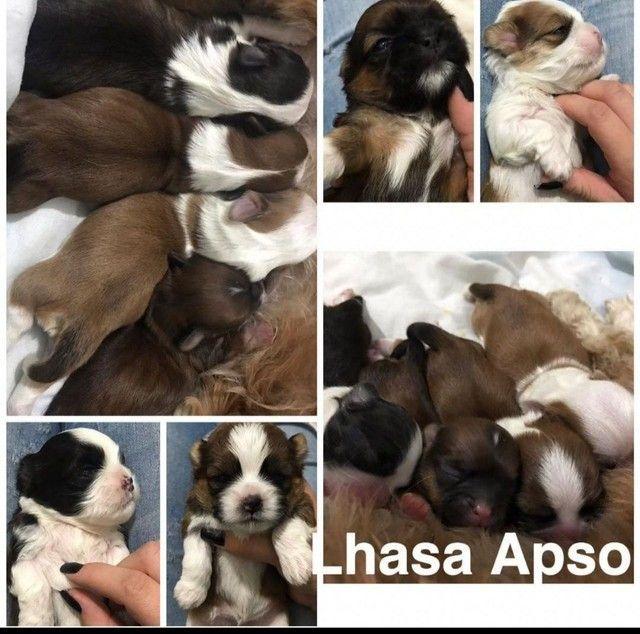 Lhasa Apso com pedigree e microchip em até 12x