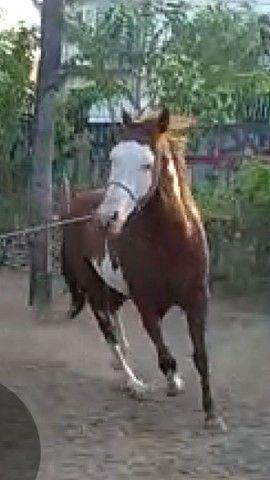 Cavalo Paint Horse de direita - Foto 6