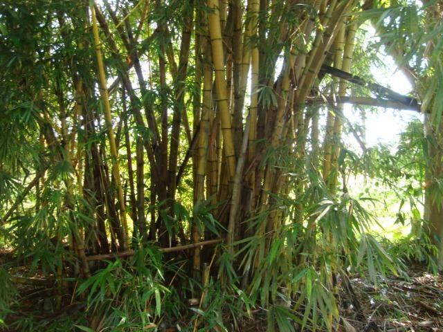 Vende-se varas de bambu taquara, cana da índia e imperial - Foto 6