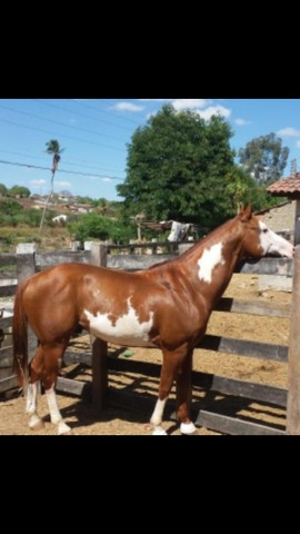 Cavalo Paint Horse de direita - Foto 4